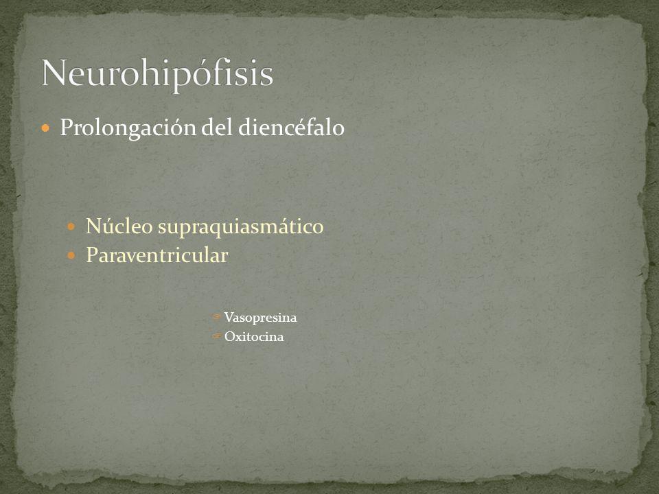Neurohipófisis Prolongación del diencéfalo Núcleo supraquiasmático