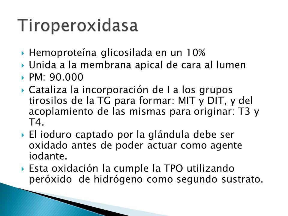 Tiroperoxidasa Hemoproteína glicosilada en un 10%
