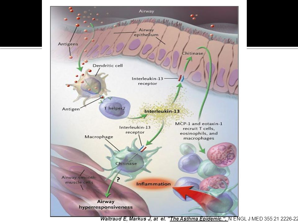 Figure 1. Novel Insights into the Mechanisms Underlying the Development of Allergen-Induced Hyperresponsiveness and Inflammation of the Airways.