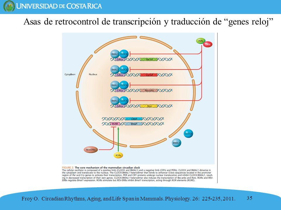 Asas de retrocontrol de transcripción y traducción de genes reloj