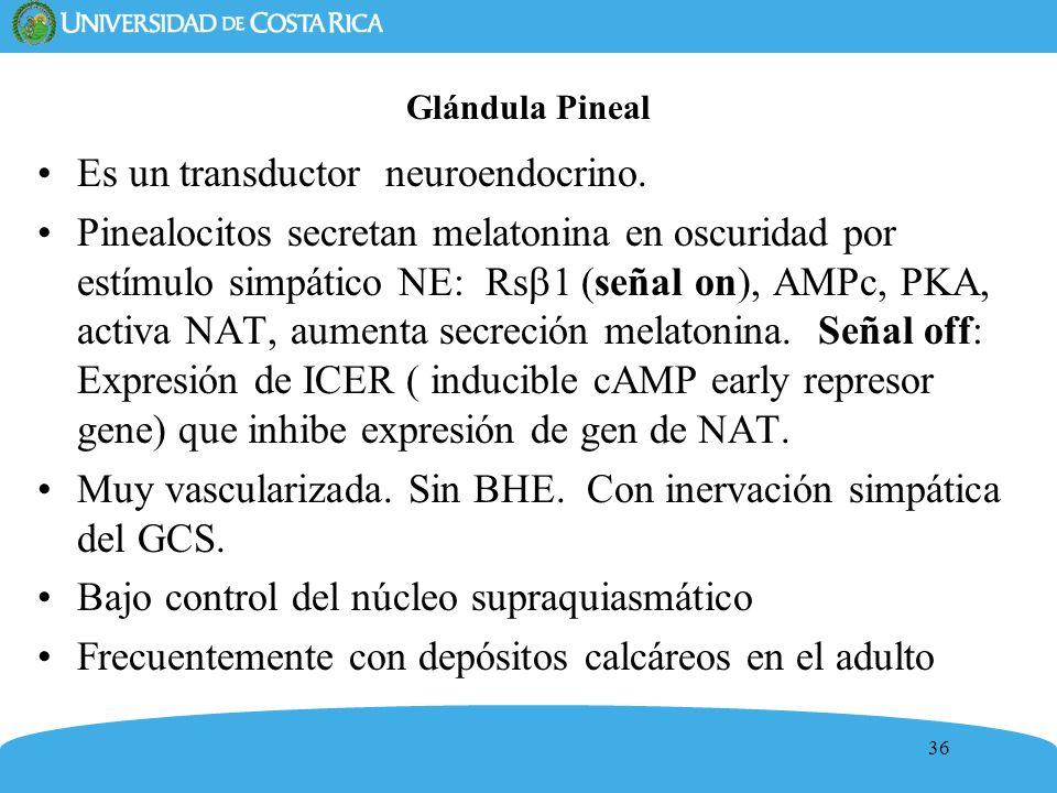 Es un transductor neuroendocrino.