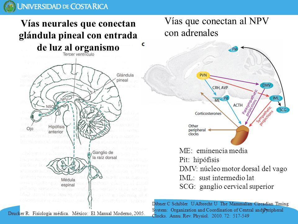 Vías que conectan al NPV con adrenales