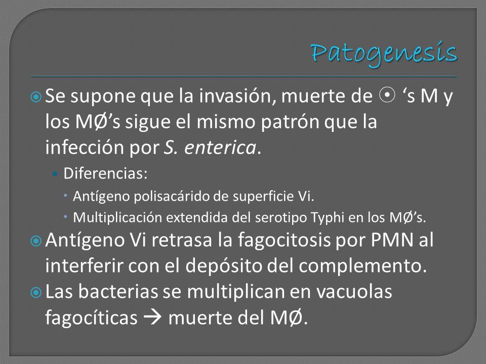 Patogenesis Se supone que la invasión, muerte de  's M y los MØ's sigue el mismo patrón que la infección por S. enterica.