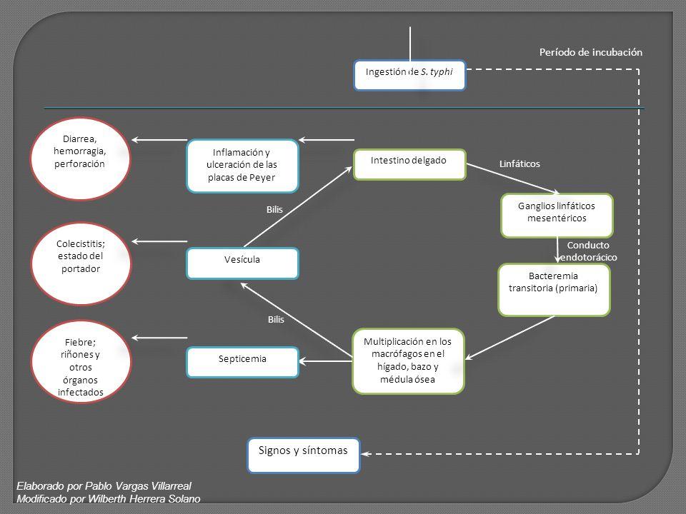 Signos y síntomas Período de incubación Ingestión de S. typhi