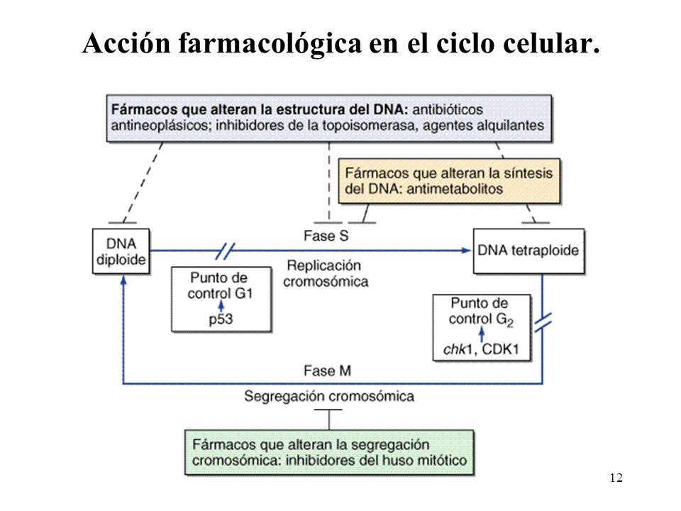 Acción farmacológica en el ciclo celular.