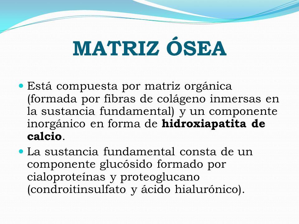 MATRIZ ÓSEA