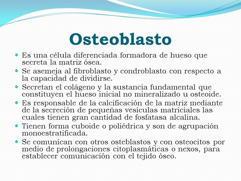 Osteoblasto Es una célula diferenciada formadora de hueso que secreta la matriz ósea.