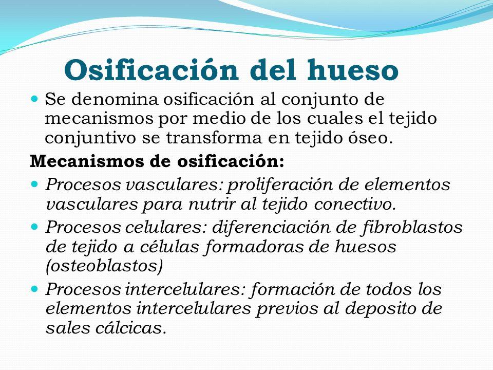 Osificación del hueso Se denomina osificación al conjunto de mecanismos por medio de los cuales el tejido conjuntivo se transforma en tejido óseo.