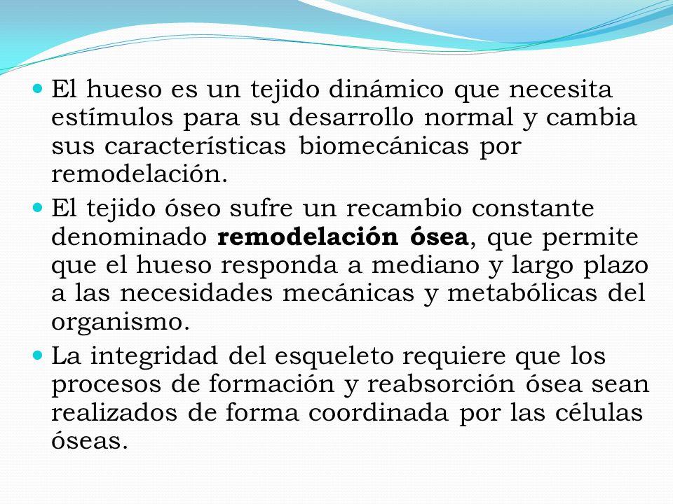 El hueso es un tejido dinámico que necesita estímulos para su desarrollo normal y cambia sus características biomecánicas por remodelación.