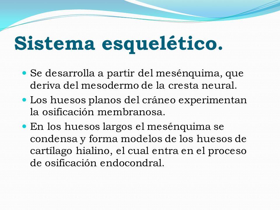 Sistema esquelético. Se desarrolla a partir del mesénquima, que deriva del mesodermo de la cresta neural.