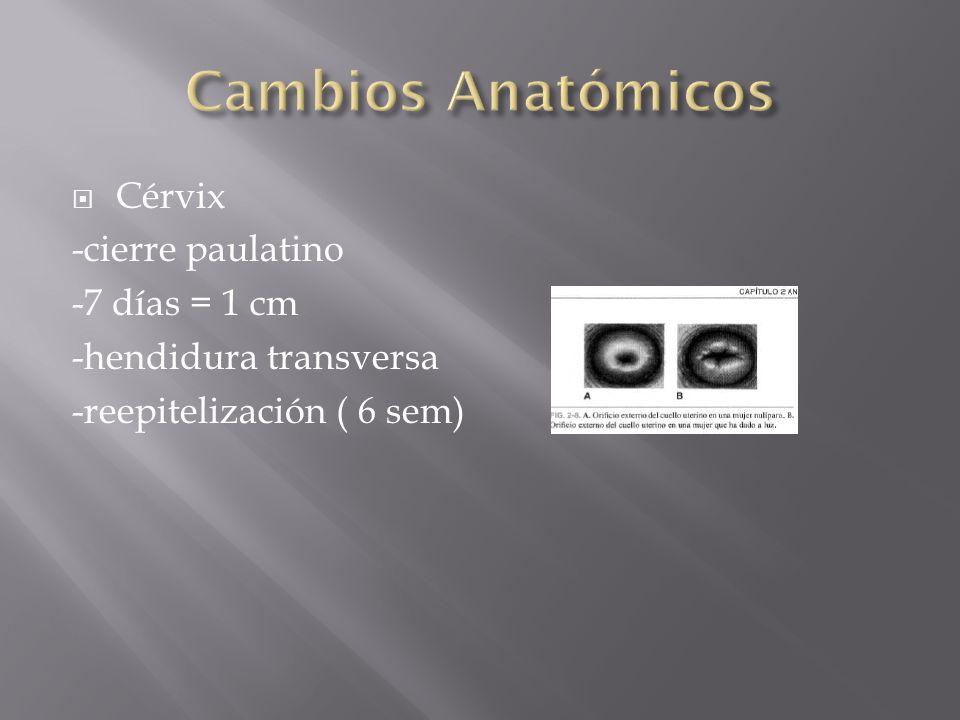Cambios Anatómicos Cérvix -cierre paulatino -7 días = 1 cm