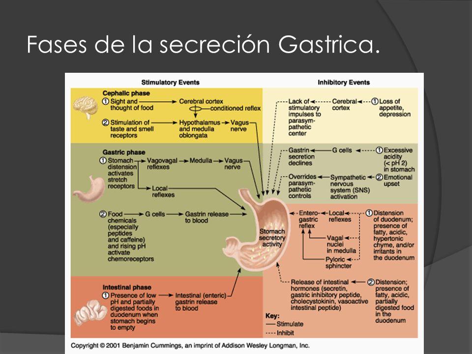 Fases de la secreción Gastrica.
