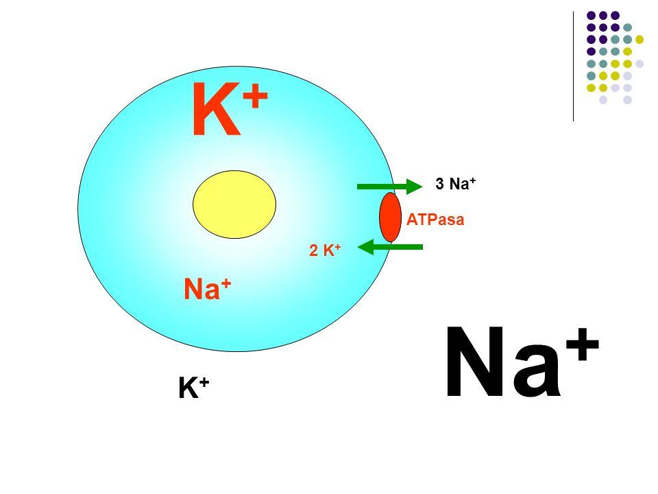 K+ 3 Na+ ATPasa 2 K+ Na+ Na+ K+