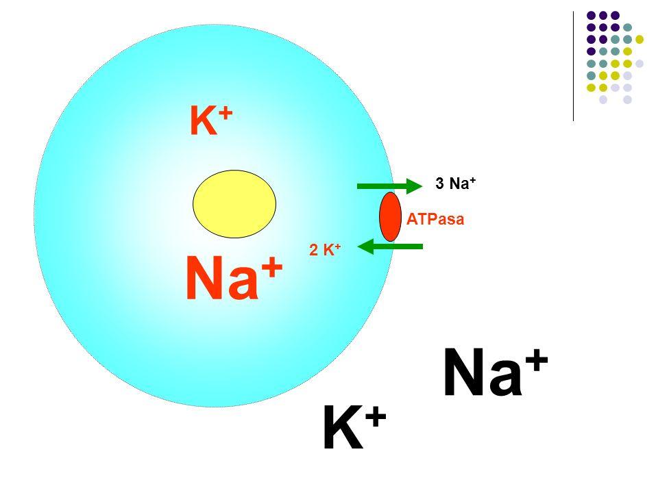 K+ 3 Na+ ATPasa Na+ 2 K+ Na+ K+