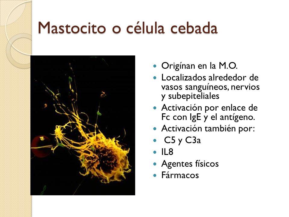Mastocito o célula cebada