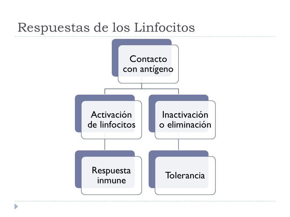 Respuestas de los Linfocitos