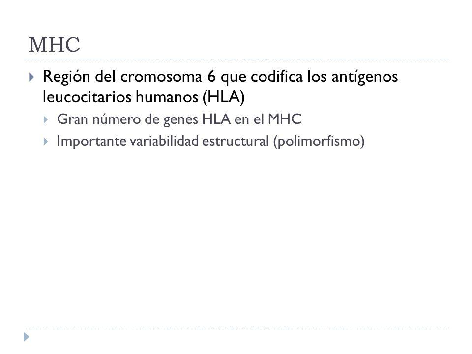 MHCRegión del cromosoma 6 que codifica los antígenos leucocitarios humanos (HLA) Gran número de genes HLA en el MHC.