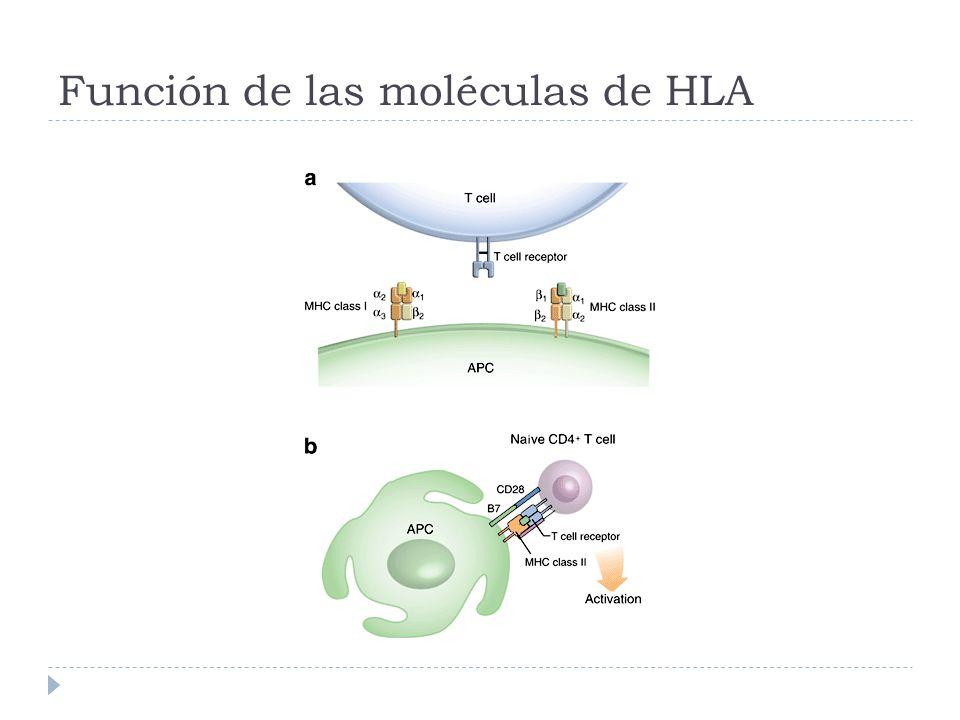Función de las moléculas de HLA
