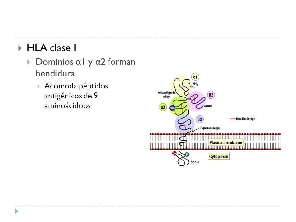 HLA clase I Dominios α1 y α2 forman hendidura