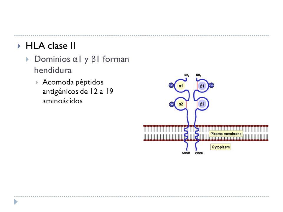 HLA clase II Dominios α1 y β1 forman hendidura