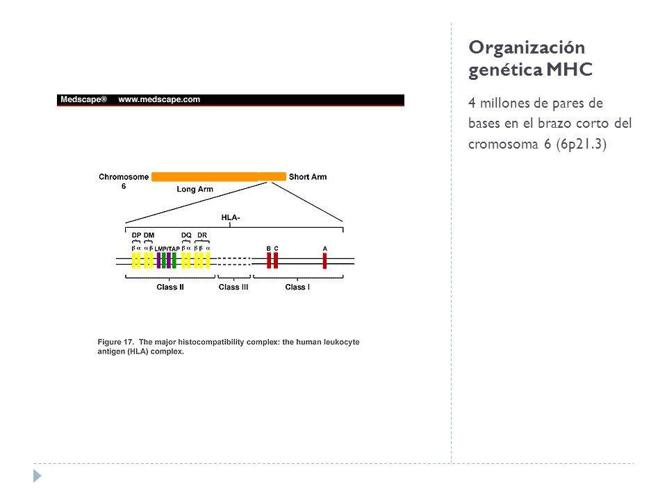 Organización genética MHC