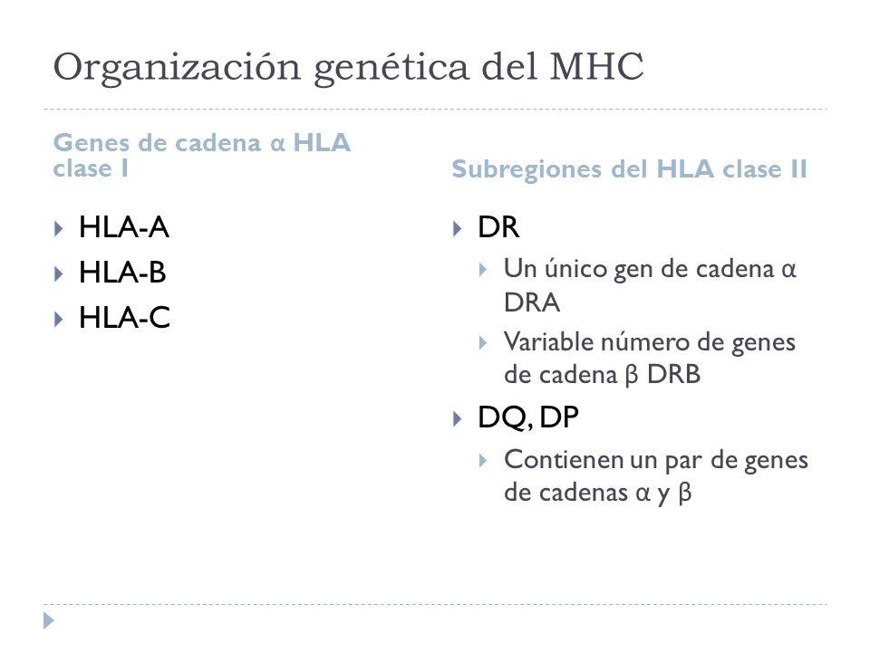 Organización genética del MHC