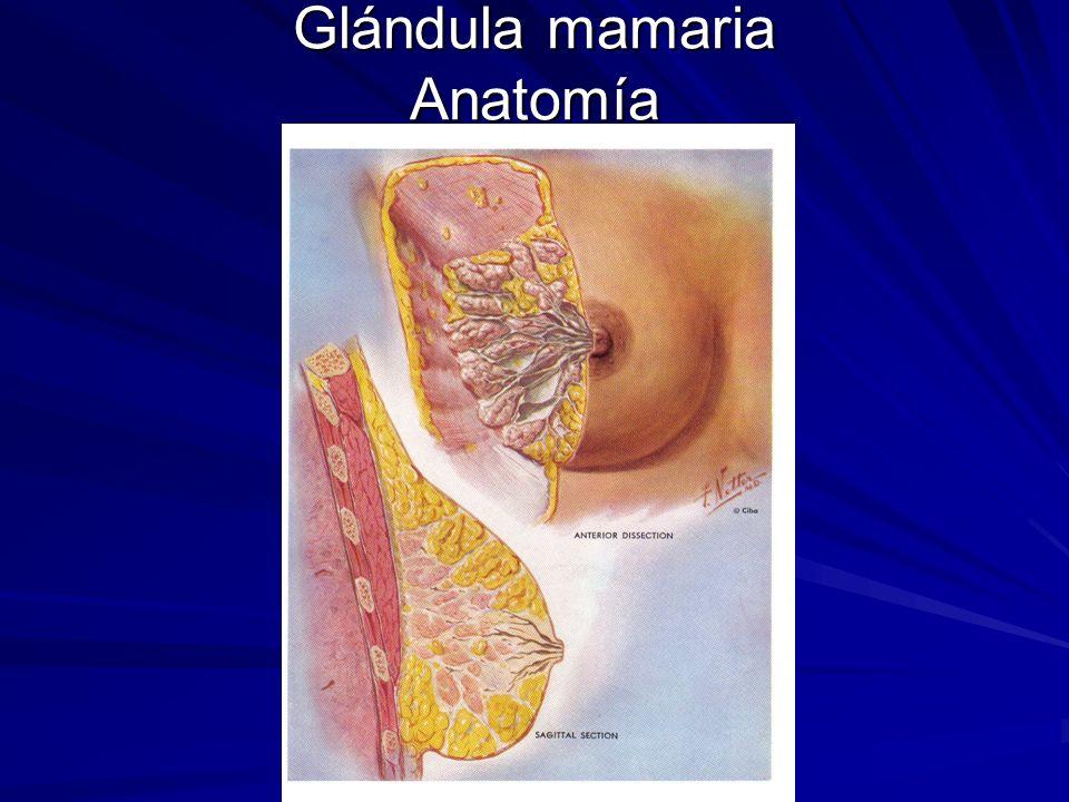 Glándula mamaria Anatomía