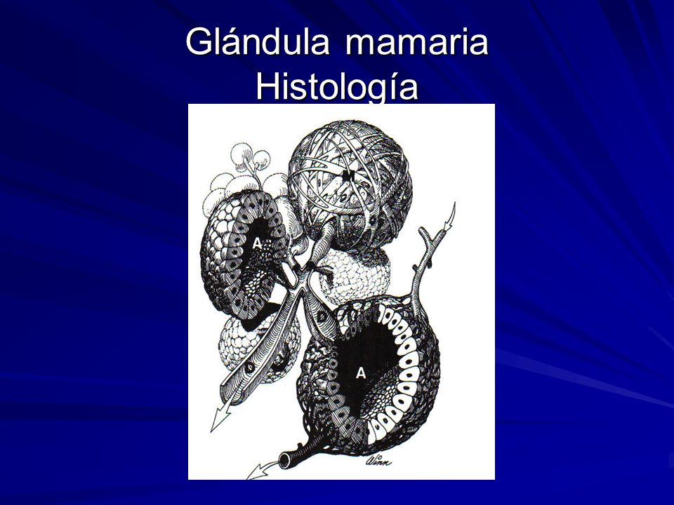 Glándula mamaria Histología