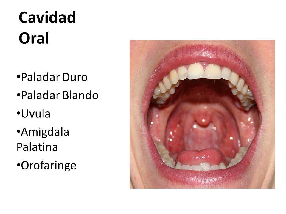 Cavidad Oral Paladar Duro Paladar Blando Uvula Amigdala Palatina
