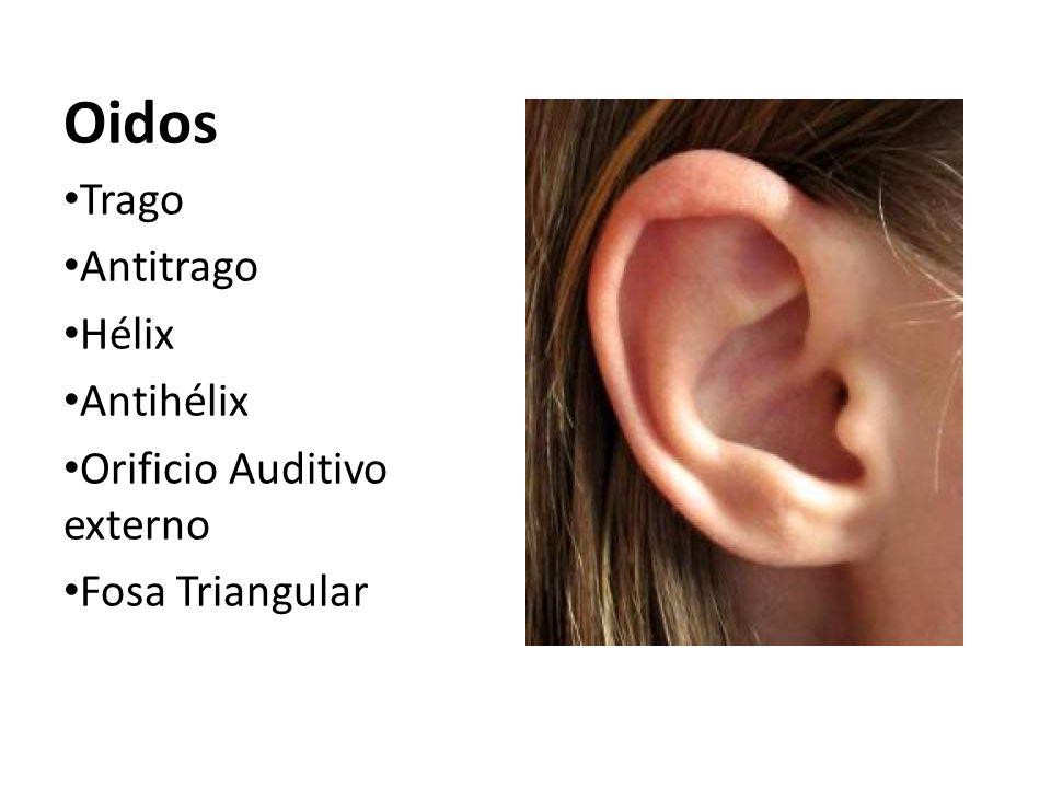 Oidos Trago Antitrago Hélix Antihélix Orificio Auditivo externo
