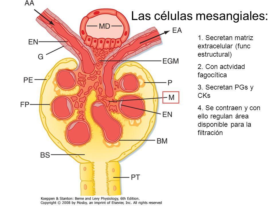 Las células mesangiales: