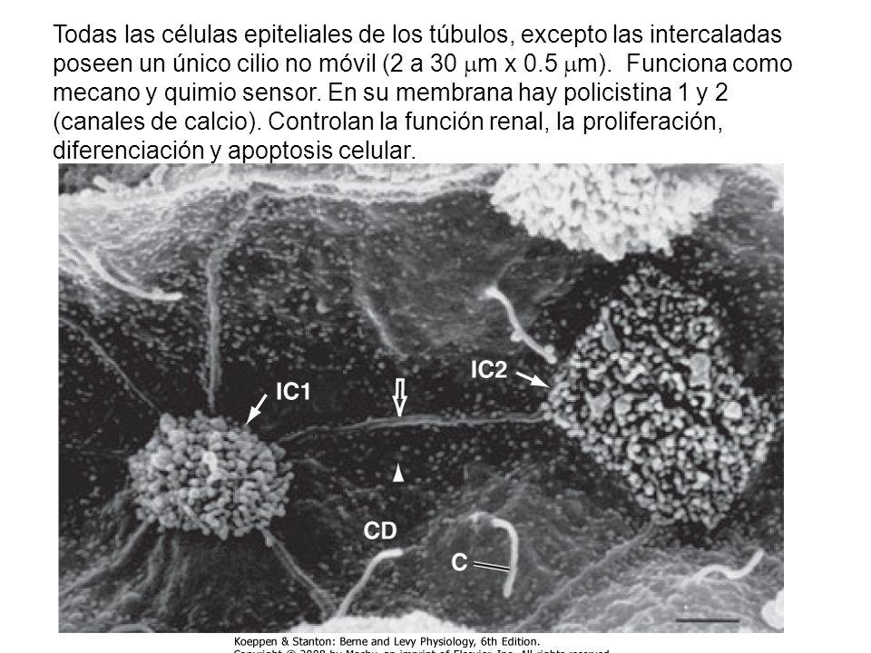 Todas las células epiteliales de los túbulos, excepto las intercaladas poseen un único cilio no móvil (2 a 30 m x 0.5 m).