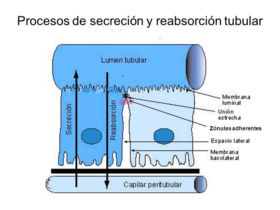 Procesos de secreción y reabsorción tubular
