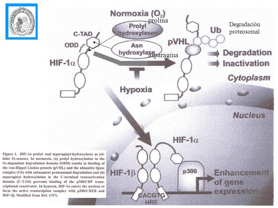 prolina Degradación proteosomal asparagina