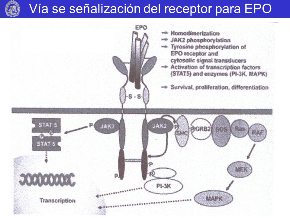 Vía se señalización del receptor para EPO
