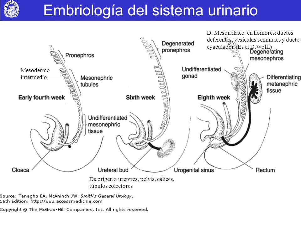 Embriología del sistema urinario