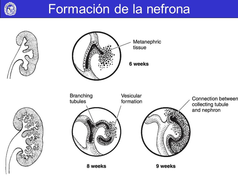 Formación de la nefrona