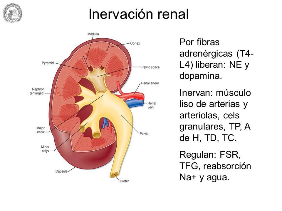 Inervación renalPor fibras adrenérgicas (T4-L4) liberan: NE y dopamina.