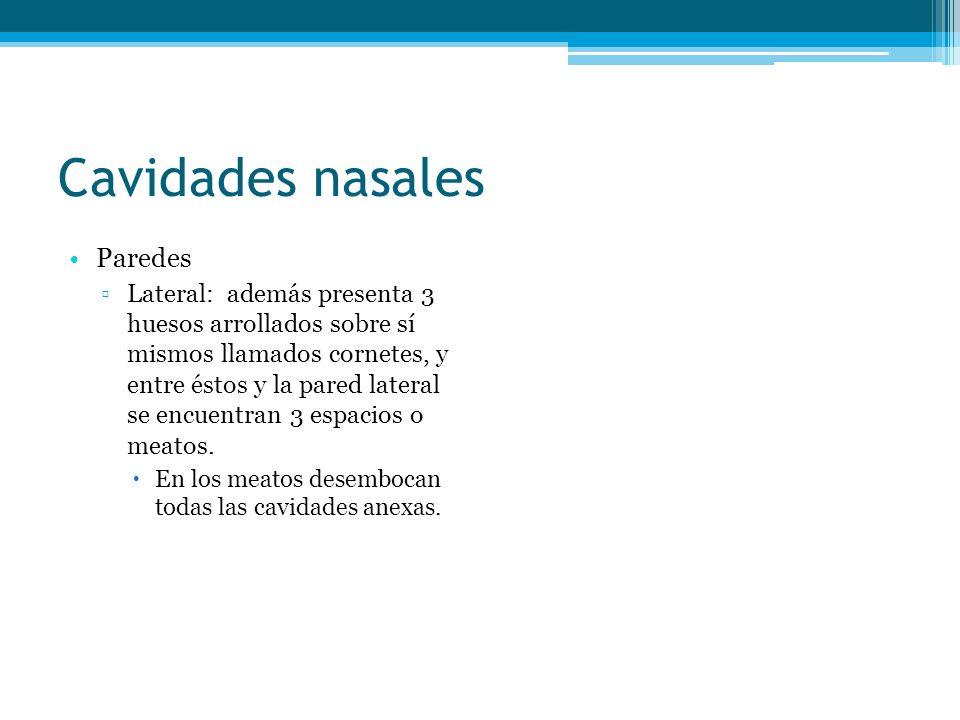 Cavidades nasales Paredes
