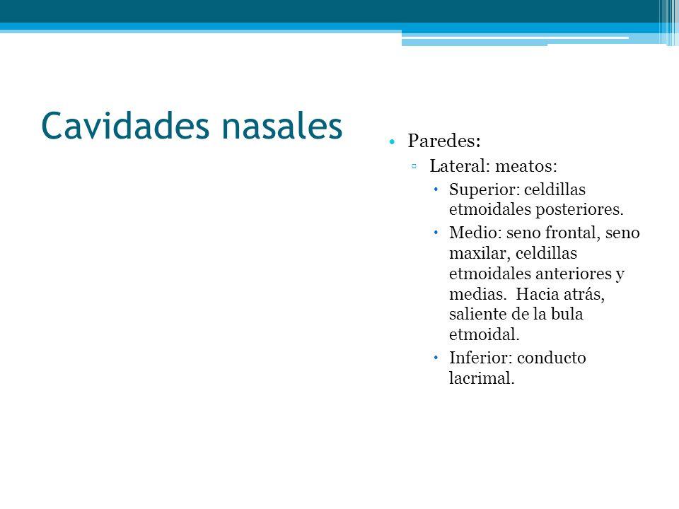 Cavidades nasales Paredes: Lateral: meatos: