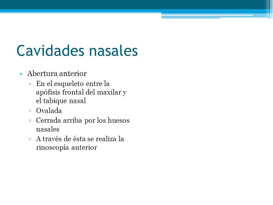 Cavidades nasales Abertura anterior