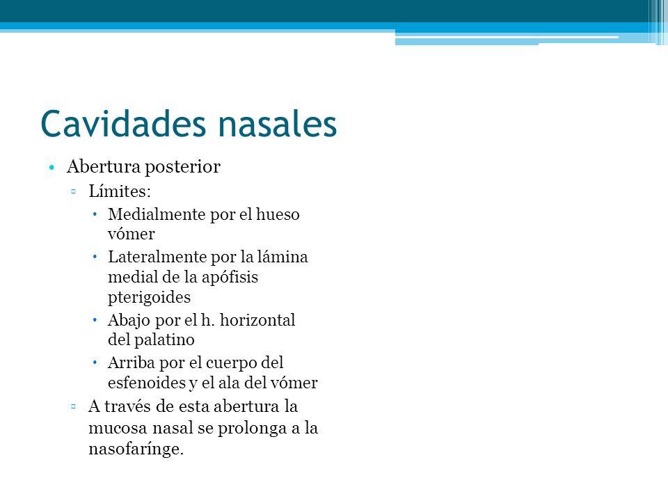 Cavidades nasales Abertura posterior Límites: