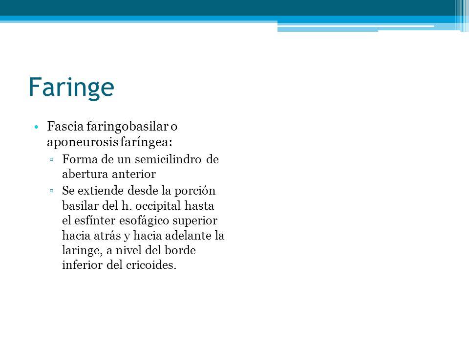 Faringe Fascia faringobasilar o aponeurosis faríngea: