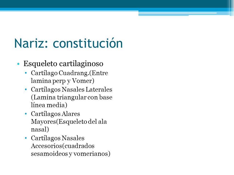 Nariz: constitución Esqueleto cartilaginoso