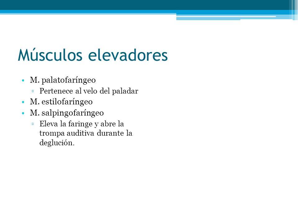 Músculos elevadores M. palatofaríngeo M. estilofaríngeo