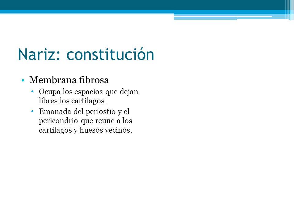 Nariz: constitución Membrana fibrosa