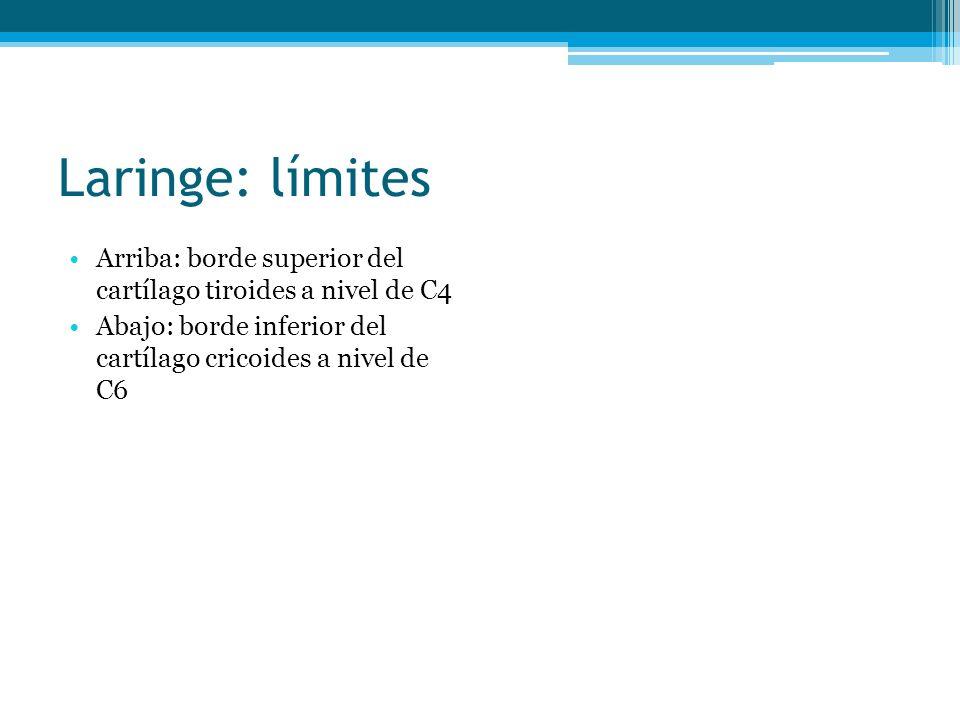 Laringe: límites Arriba: borde superior del cartílago tiroides a nivel de C4.
