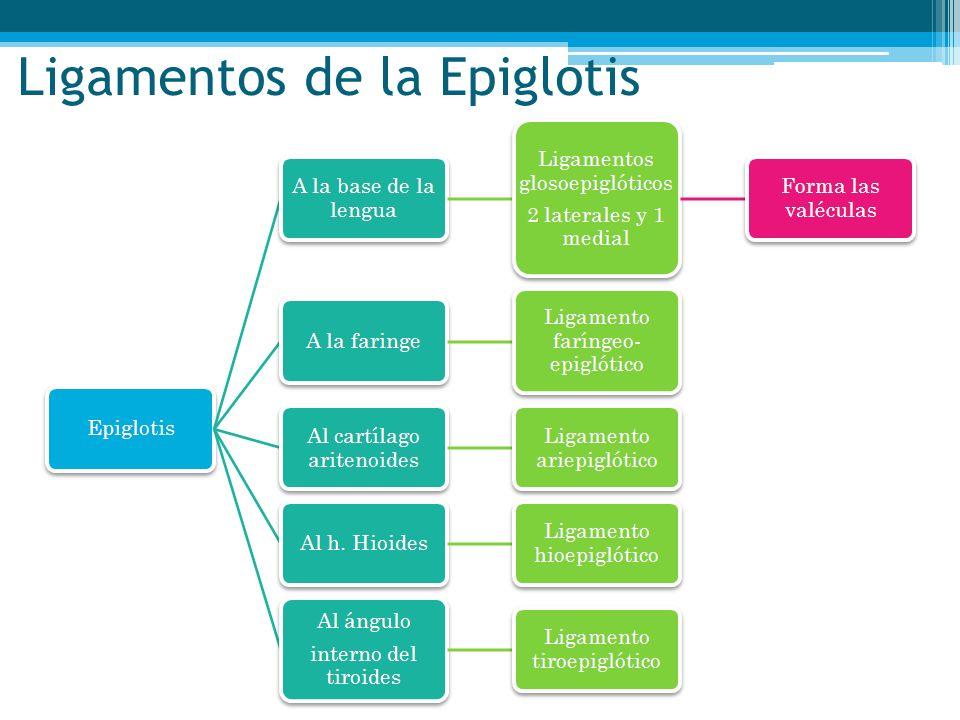 Ligamentos de la Epiglotis