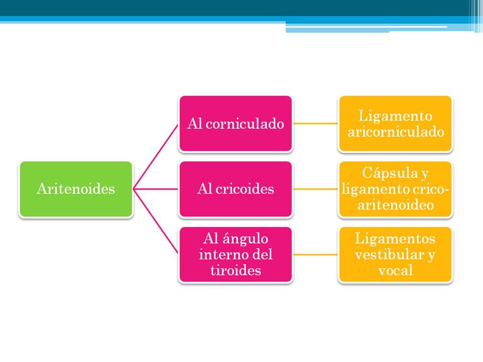 Ligamentos del Complejo Aritenoideo