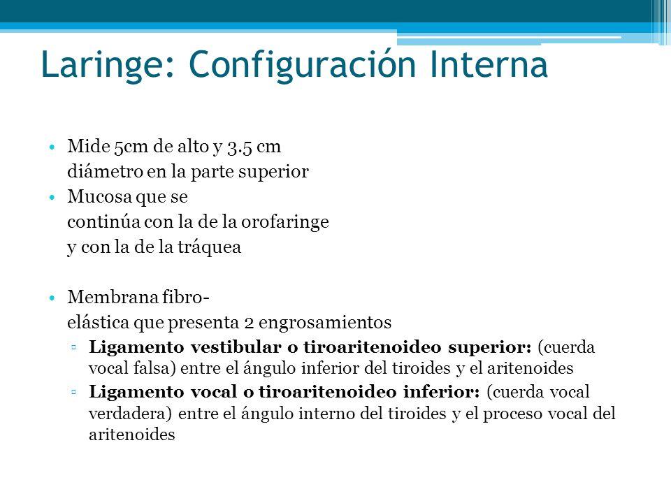 Laringe: Configuración Interna